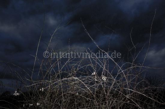 Heide in der Nacht - Dornen