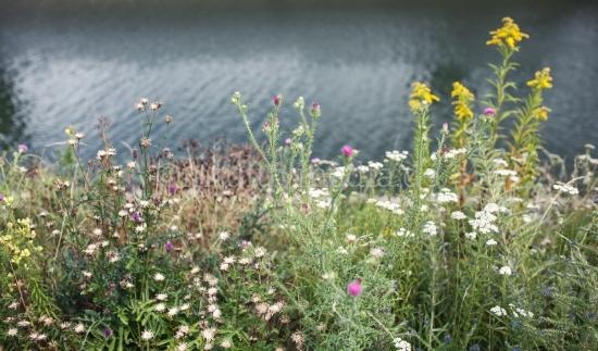 Wilde Blume am Wasser