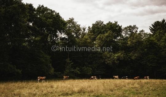 Kühe am Waldrand