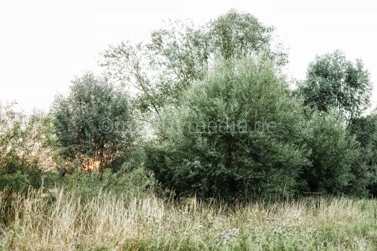 Weidenbaum mit Gräser