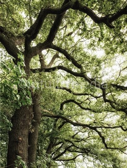Eichbäume