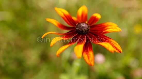 Rote Blume
