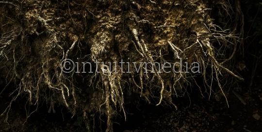 Wurzeln eines umgestürzten baumes