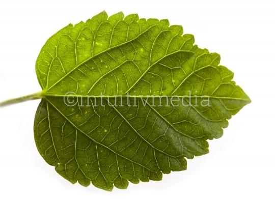 Grünes Blatt im Detail