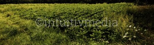 Feldrand Zuckerrüben