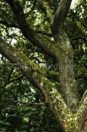Eichen Baumtamm