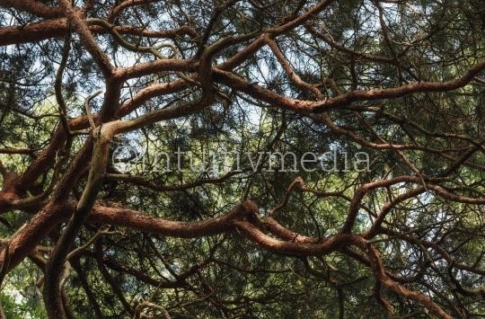 Kiefer Äste (Pinaceae)