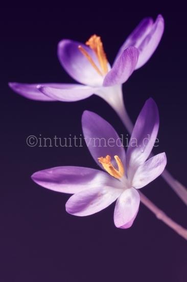 Lilla Krokus Blüten