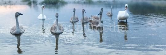 Schwäne Familie auf dem Wasser