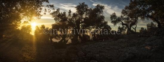 Mallorca: Oliven Hain Panorama