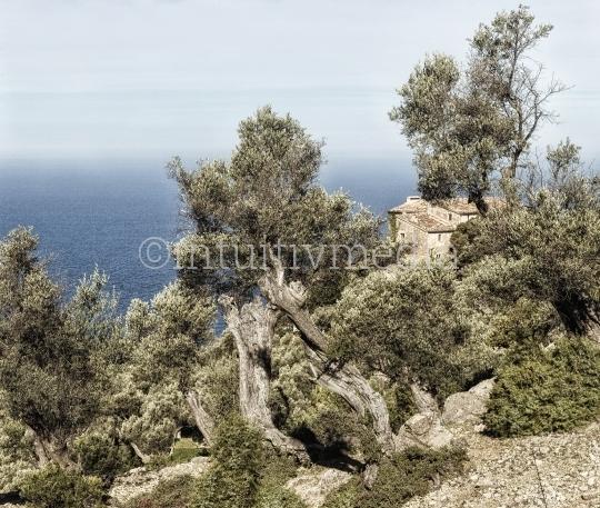 Olivenbäume vor dem Meer