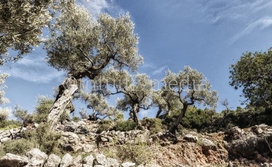 Olivenbäume im Olivenhain