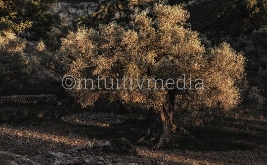 Olivenbaum im Abendlicht