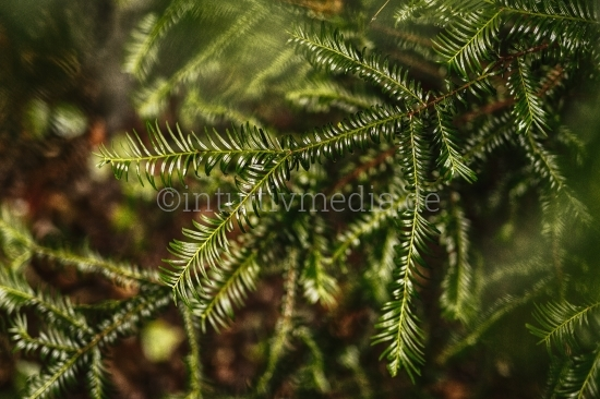 Nadelbaum Zweig nach dem Regen