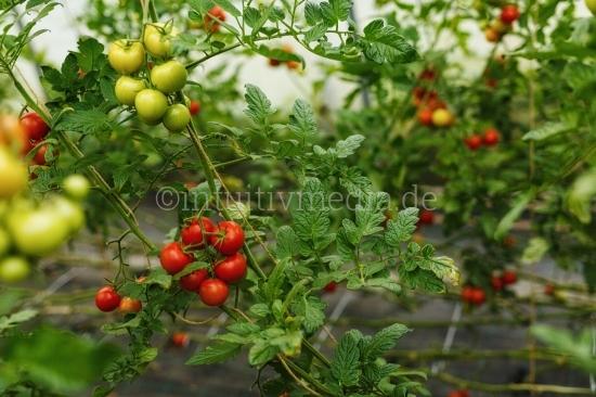 Tomaten Pflanzen im Gewächshaus