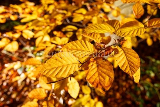 Buchenlaub im Herbst