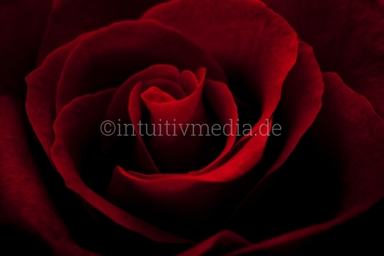 Rote Rose Closeup