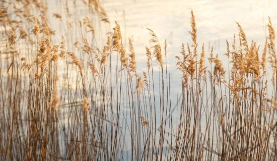 Gräser am Laacher See