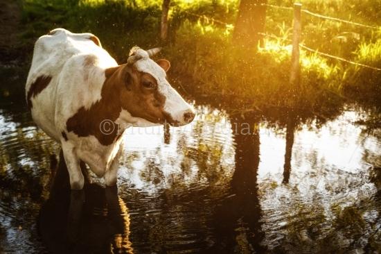 Kuh im Bach im Abendlicht