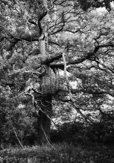 Alte Eiche in Schwarzweiß