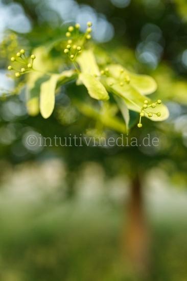 Lindenblüten Closeup
