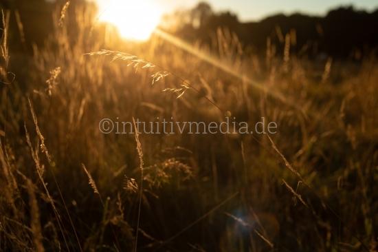 Goldene Gräser im Gegenlicht
