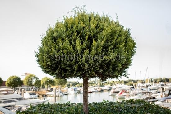 Baum am Hafen