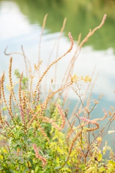 Gräser am Fluss