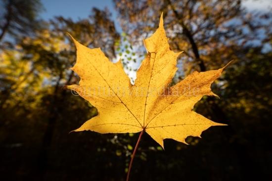 Herbstblatt gelb