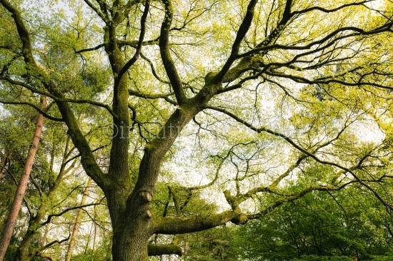 Eichen Baumkrone mit frischen Frühlingslaub
