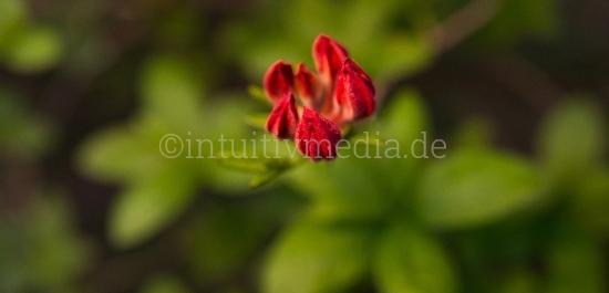 Azaleen Rhododendron Blüten Closeup
