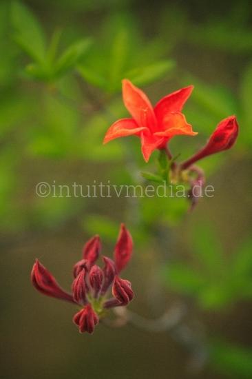 Azalee Blüten in Closeup - Rhododendron