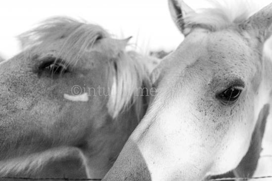 Weiße Pferde in der Natur
