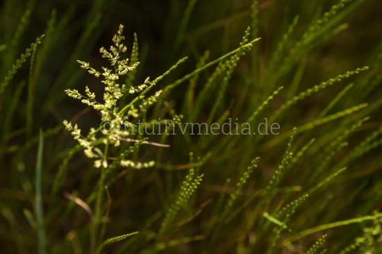 Getreide Feld Weizen Roggen