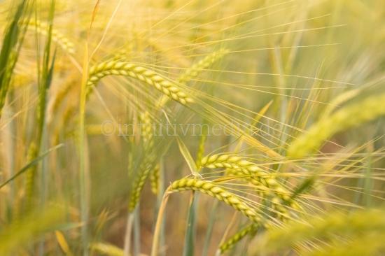 Gelbes reifes Weizenfeld im Sommer