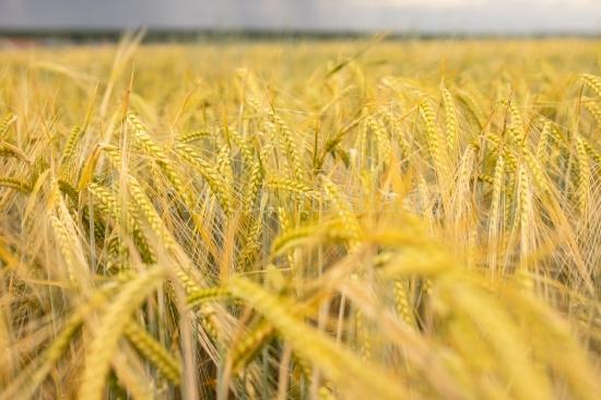 Weizenfeld - Getreide Feld im Sommer