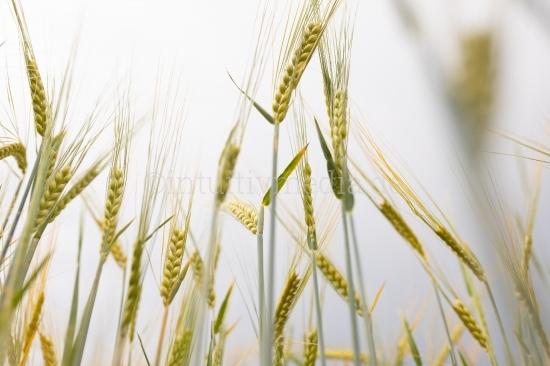 Weizen Ähren gegen dem Himmel