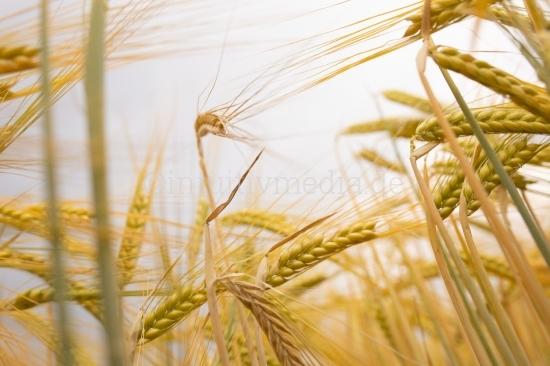 Getreide Feld im Sommer