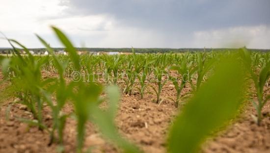 Maisfeld mit jungen Pfalnzen
