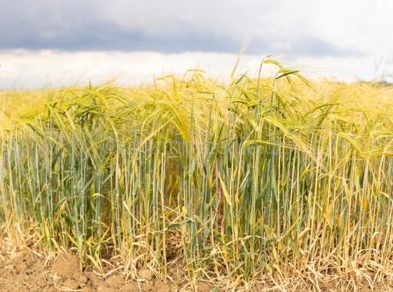 Reifes Kornfeld - Weizen Ähren