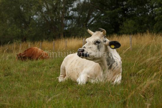 Weiße Kuh im Feld