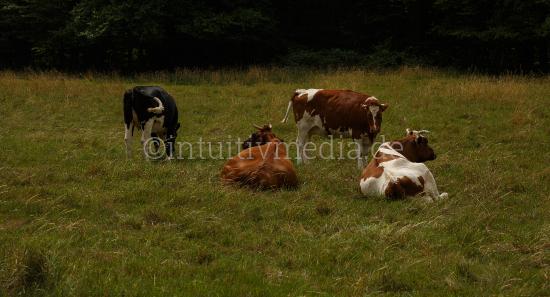 Kühe im Feld