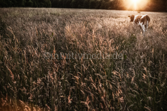 Cow in the field at sunset