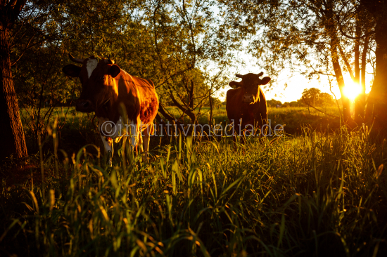 cattle in grassland at sunset