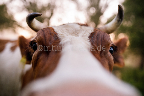 Cow looking in closeup