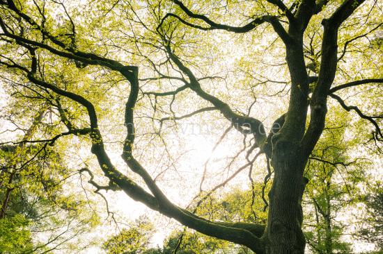 Large oak tree in springtime