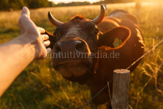 Hand reaching to a cow