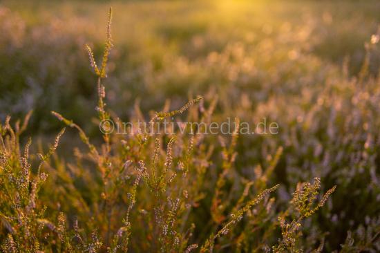 Heath flowers at sunset