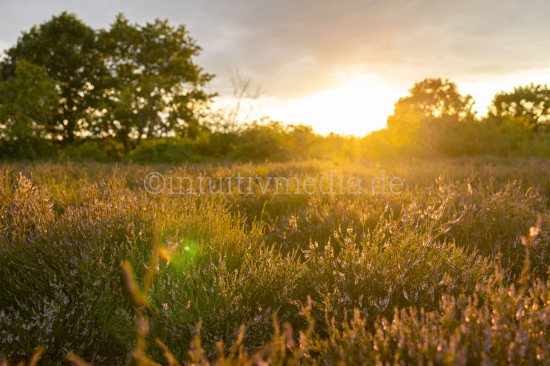 Countryside with TreesHeath flowers at sunset