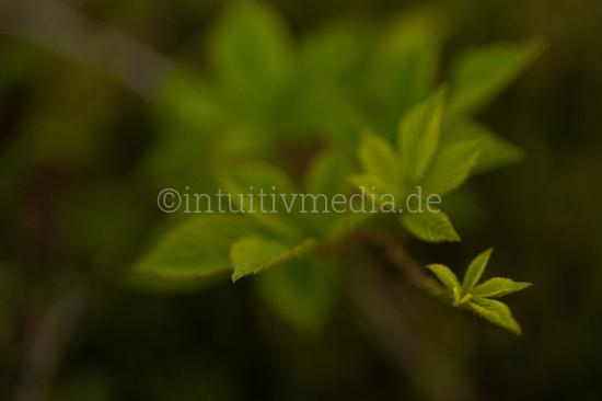 Blackberry leafs